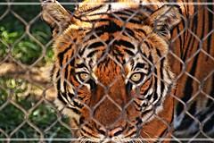 Tiger (Kurian Varghese Thattampurath) Tags: tiger zoo wildness sharp focus