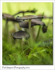 Decaying Mushrooms (Paul Simpson Photography) Tags: mushroom inkcap naturalworld nature naturephotography seasonalphotography sonya77 sonyphotography paulsimpsonphotography photoof photosof photosoftinymushrooms grass october2016 fungi fungus