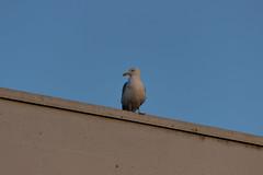 Sunset seagull (Dino Barsic) Tags: seagull sunset sky blue bird roof dusk pore croatia europe balkan outdoors animal canon600d