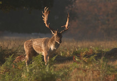 Fallow-Deer-6641 (Kulama) Tags: fallowdeer deer nature wildlife woods bracken fern sunrise animals autumn autumncolours canon7d sigma150600c563 morning