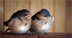 First day out of the nest (Ineke Struk) Tags: swallow birds chicks fledglings pretty flight