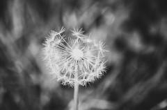 Sternstunde (***étoile filante***) Tags: dandelion dandelionseeds pusteblume flower blume poetic poetisch soul soulful emotions macro makro dof bokeh nature natur bw sw schwarzweiss blackandwhite