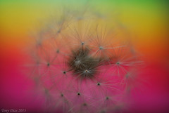 Dandelion in a rainbow (Tony Dias 7) Tags: macro up colours close dandelion