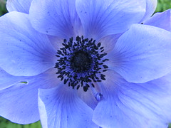 'April Blue ' ...... Anemone (october blue) Tags: thegalaxy bej awesomeblossoms vanagram mygearandme