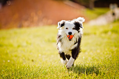 (5/12) We Got Spring! (Anda74) Tags: action bordercollie ouzo canonef70200mmf28lusm