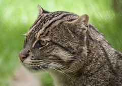 Fishing cat (TenPinPhil) Tags: zoo howletts howlettszoo 2013 philipharris flickrbigcats tenpinphil