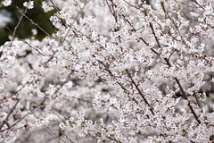 (ddsnet) Tags: travel plant flower japan night sony  cherryblossom  sakura nippon  kansai  nihon hanami  backpackers  flower     nex        naraken cherry  blossom mirrorless japan     flowerinjapan newemountexperience nex7