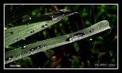 PB231696 - DEW DROPLETS-GOTAS DE ORVALHO-GOCCE DI RUGIADA (Felipe 1930) Tags: unique flickrland justnature mmmilikeit italy4u reflect4u macro4u autumn4u