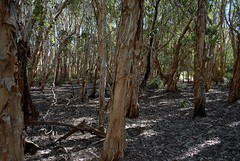 paperbarks at South Ballina 2 (dustaway) Tags: trees forest australia bark nsw wetlands trunk australianlandscape treescape northcoast melaleuca myrtaceae northernrivers paperbarks melaleucaquinquenervia australiantrees broadleavedpaperbark nationalparksandnaturereserves richmondrivernaturereserve