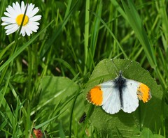 Orange Tip, Daisy & Fly (marmendy mill) Tags: flower macro closeup butterfly bug insect fly photo nikon butterflies lepidoptera daisy mariposa essex greenleaf greengrass diptera bellisperennis orangetip rochford anthochariscardamines magnoliapark