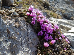 G8 Summit Scramble 19 Moss Campion (benlarhome) Tags: mountain canada montagne trekking trek kananaskis rockies spring hiking hike alberta rockymountain rockymountains mosscampion scramble g8 gebirge scrambling