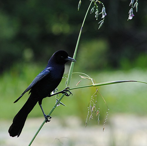 Boat tailed Grackle is perched on Fireflag