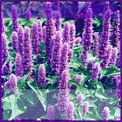 Hyssop is an herb from the mint family that is used in flavoring soups, stews and salads as well as meats and fish. (moramo111) Tags: foods high healthy protein