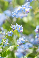 Sun on forgetmenots (photoart33) Tags: flowers blue macro green nature floral garden spring soft natural may wildflowers myosotis forgetmenots socc