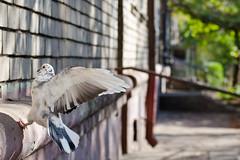 Flight (Nikita Vadimovitch) Tags: nature birds animals freedom pigeon flight moment shortexposure животные природа птицы голубь полет свобода момент короткаявыдержка