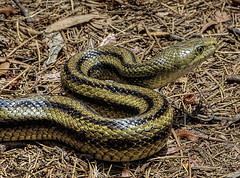 Another New Friend from Hilton Head (h_roach) Tags: nature horizontal outdoors wildlife southcarolina nopeople scales predator constrictor hiltonheadisland yellowratsnake seapinespreserve therubyawardsinvitation