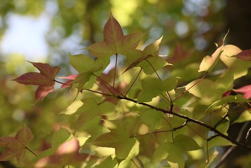 フウの木陰