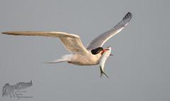 Common Tern with fish 7_18 (krisinct- Thanks for 12 Million views!) Tags: nikon g 500 f4 vr d500