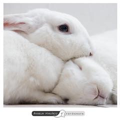 Pompom e Neve (angela.macario) Tags: brazil rabbit bunnies brasil babies coelho coelhos goinia gois bebs ngela macrio coelhinhos