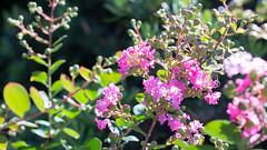 201608_11_2560 (noriko_v) Tags: crapemyrtle flower summer nature