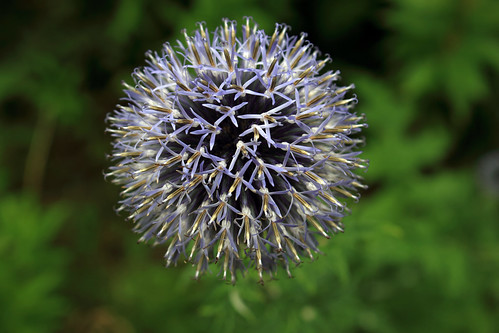 """Kugeldistel (Echinops) (4) • <a style=""""font-size:0.8em;"""" href=""""http://www.flickr.com/photos/69570948@N04/28526050841/"""" target=""""_blank"""">View on Flickr</a>"""