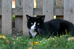 HFF... (Kerri Lee Smith) Tags: hff happyfencefriday feline blackandwhitecat dirt fence friday summer tuxedos tuxedocats