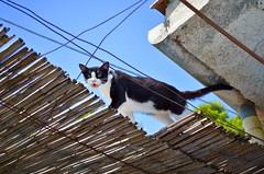 Silvia che vuoi dirmi? (mariangelalobianco) Tags: gatto gatta selvaggia fusa sole chebellagiornata campagna camminasuitetti miao passiflora fioredellapassione colori natura fiore fiori verde casa