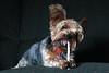Nemo 08-06-16 (MelenaMe) Tags: nemo pet canine animal dog doggie yorkiepoo yorkiepoodle yorkie