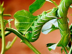 Moth caterpillar in feeding. (christianhon268) Tags: moth worm caterpiller leaf eater nature life food feeding cacoon stripes exotic bug bugs spike rain forest jungle rare