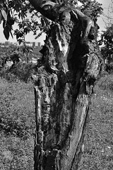 Strain BW (Sarka Tesik) Tags: deadwood strain blackandwhite photogtaphy ilobsterit hrdlorezy praha sad stromy tresnovka zizkov nature priroda tree visnovka wood zelena cherrytree orchard prague czechrepublic natural park