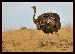 MASAI OSTRICH (Struthio camelus massaicus)......MASAI MARA......OCT 2015 (M Z Malik) Tags: nikon d3x 200400mm14afs kenya africa safari wildlife masaimara maraserena transmara exoticafricanwildlife exoticafricanbirds ngc npc