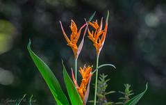A Few Fingers of Orange (Gabriel FW Koch (fb.me/FWKochPhotography on FB)) Tags: flowers beauty pretty orange green bokeh beautiful garden outside canon lseries telephoto dof eos