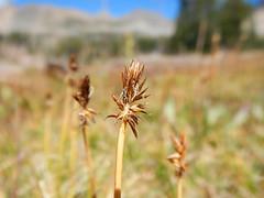 carexnigricans blackalpinesedge cyperaceae alaskabasin tetonrange native rhizomatous matforming sedge perennial
