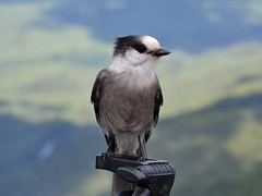 Msangeai du Canada (pascal_roussy) Tags: oiseau bird faune wildlife nature nikon d3100