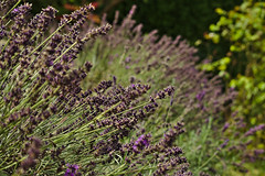 August Lavender (sphaisell) Tags: lavender flowers august wootton oxfordshire flora nature purple heat summer