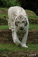 Tigre blanc - Zoo La Fleche - 20160817 (0904) (laurent lhermet) Tags: sel55210 zoo zoodelafleche tigre tigreblanc