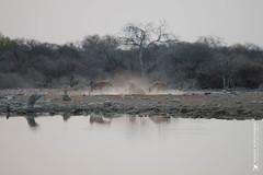 DSC_4326.JPG (manuel.schellenberg) Tags: namibia etosha animal nationalpark hyena