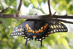 I'm hanging out... (Moon Rhythm) Tags: papiliopolyxenes butterfly swallowtail black nature mybackyard citizenscience release newborn easternblackswallowtail papiliopolyxenesasterius drying male easternshore maryland mimicry pushups wings bigyellowmeansimafellow raised scienceforkids