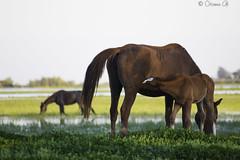 Mother giving (Osama Ali Photography) Tags:        horse horses caballo landscape marsh wildlife wild salvaje animal animals canon green verde fauna feeding motherhood beauty spain espaa mother water nature natural natura naturaleza