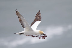 Australasian Gannet (Alan Gutsell) Tags: australasian gannet australasiangannet seabird pelagic bird auckland muriwai colony alan wildlife nature photography