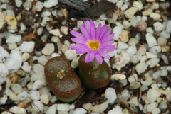 1 octobre 2016 - Conophytum lithopsoides TS488 (Mafate79) Tags: 2016 conophytumlithopsoides conophytum lithopsoides ts488 aizoaceae aizoaces aizoace mesemb mesembryanthemaceae mesembryanthemaces mesembryanthemace sectionpellucida plante fleur