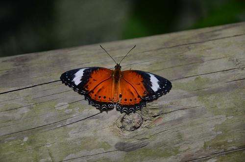 DSC_5810 orange lacewing, Cethosia pentheselia, Australian Butterfly Sanctuary, Kuranda, Queensland