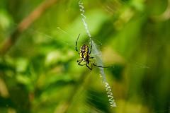 black & Yellow garden spider (Black Hound) Tags: sony a500 minolta spider spiderweb blackandyellowgardenspider