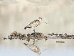 Bar-tailed Godwit (Cyprus Bird Watching Tours - BIRD is the WORD) Tags: