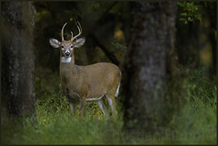 O my, how you've grown! (Christian Hunold) Tags: whitetailedbuck whitetaileddeer whitetail buck deer 5pointbuck weisswedelhirsch youngbuck mammal johnheinznwr philadelphia christianhunold