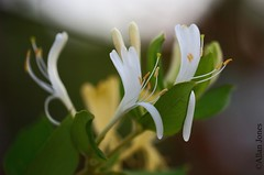 Flowers (Allan Jones Photographer) Tags: petals greenery plant bokeh bokehlicious anther stamen leaves allanjonesphotographer allanjones canon5d3 canonef100mmf28lmacroisusm bokehwhores