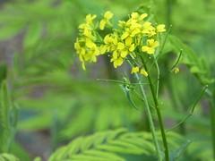 senape selvatica (fotomie2009 OFF) Tags: senape selvatica mustard yellow flower fiore flora wild wildflower spontaneo spontaneous silvestre
