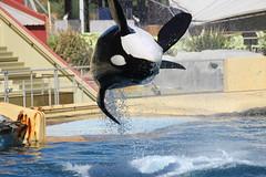 IMG_6912 (Bebelouga) Tags: orque marineland killerwhale orca