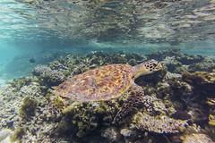 echte Karettschildkrte (astroaxel) Tags: malediven athuruga diamonds resort unterwasser schorcheln echte karettschildkrte wasserschildkrte schildkrte