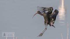 Morito comn (Plegadis falcinellus) (jsnchezyage) Tags: moritocomn plegadisfalcinellus vuelo ave fauna naturaleza birding bird ngc